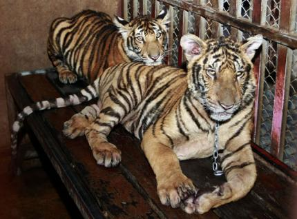 Thailand-Tigers_Kand.jpg.crop_display.jpg