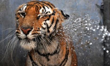 Tiger_AFP_0_0_0.jpg