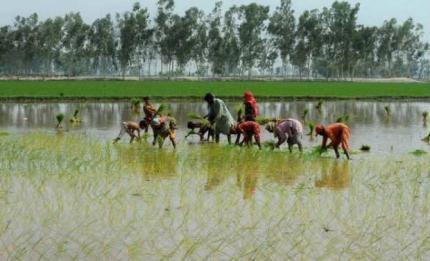rice-paddy-july-2012-afp5-670_4.jpg